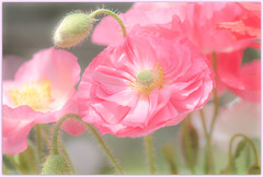 it's a soft world (Make our PLANET great again !) Tags: pavot poppies garden couleurs pastel gentle rose pink nikon softtones