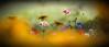 L' été au jardin (Nicole Barge) Tags: proxi pavots papaveraceae poppies poppy bleuet centaurée rudbeckia jardin garden cornflower 2016