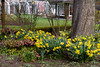 Daffodils and Helleborus (Jocey K) Tags: southisland newzealand nikond750 christchurch monavale flowers daffodils helleborus winterrose buildings trees gardens