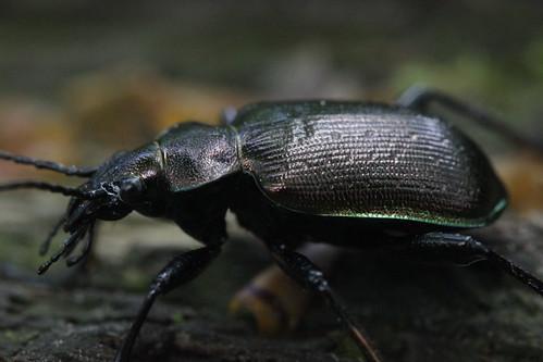 Lesser Searcher Beetle - Calosoma inquisitor