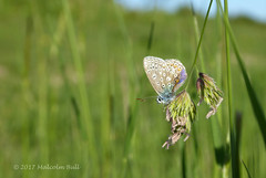 Common Blue - Mill Hill (08) (Malcolm Bull) Tags: include mill hill south downs national park adur valley common blue butterfly 20170601millhill0008edited1web