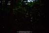 Wild Of Hong Kong @ 2017-May 再見螢火蟲 (kuno mejina) Tags: allmountainphotographyofhongkong canonef24mmf14liiusm firefly hongkong landscape sony sonya7rii sonyfullframer sonyphotos thisishongkong wild 風景 美景 螢火蟲