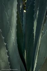 _DSC5979-Edit (dlange56) Tags: aloe florida keywest keywestgardenclub plant westmartellotower xanthorrhoeacea