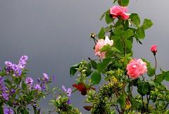 sur fond de ciel d'orage (b.four) Tags: fleurs flowers fiori ciel cielo sky storm orage temporale cagnessurmer alpesmaritimes coth5 ruby10