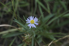 "Aster • <a style=""font-size:0.8em;"" href=""http://www.flickr.com/photos/63501323@N07/35042796625/"" target=""_blank"">View on Flickr</a>"
