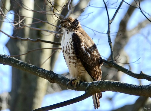 """Hawk • <a style=""""font-size:0.8em;"""" href=""""http://www.flickr.com/photos/52364684@N03/35058501262/"""" target=""""_blank"""">View on Flickr</a>"""