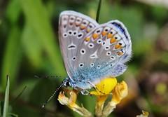 Bläuling (Hugo von Schreck) Tags: hugovonschreck macro makro insekt butterfly schmetterling falter bläuling insect canoneos5dsr onlythebestofnature tamron28300mmf3563divcpzda010