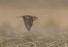 grsp-easterncimarronco-5-26-17-tl-07-cropscreen (pomarinejaeger) Tags: keyes oklahoma unitedstates bird grasshoppersparrow ammodramussavannarum