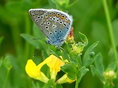 Bläuling***gossamer-winged butterfly***family Lycaenidae (BrigitteE1) Tags: bläuling gossamerwingedbutterfly lycaenidae schmetterling butterfly blue color colour insekt insect macro closeup specanimal