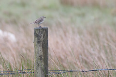 Meadow Pippit (MikeHawkwind) Tags: a700 scotland sony stirlingshire uk