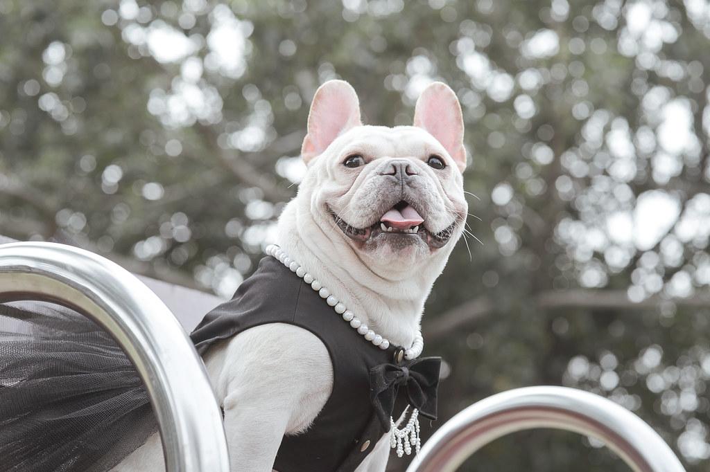 台中|寵物攝影|法鬥|法國鬥牛犬