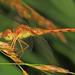 Blue-faced Meadowhawk - Sympetrum ambiguum, Mason Neck West Park, Virginia