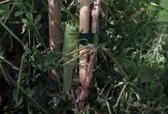 Tettigonia viridissima m - 07 VI 2017 (el.gritche) Tags: france 40 orthoptera acrididae tettigonia viridissima tettigoniaviridissima male garden