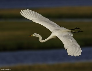 GreatEgret1-3
