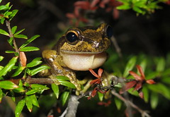 Littlejohn's Tree Frog (Litoria littlejohni) (Heleioporus) Tags: littlejohns tree frog litoria littlejohni south sydney new wales