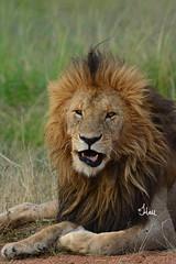 Happy Father's Day - 5934b+ (teagden) Tags: lion bigcat predator africanlion panthera pantheraleo jenniferhall jenhall jenhallphotography jenhallwildlifephotography wildlifephotography wildlife nature naturephotography photography nikon wild dkgrandsafaris safari safarisunday kenyasafari africasafari africansafari masai mara masaimara masaimarakenya masaimaralion kenya kenyawildlife kenyaafrica kenyaplains africa africanwildlife african africanphotography africansavannah