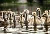 Gosling Gang (flashfix) Tags: june172017 2017inphotos ottawa ontario canada canon canoneos5dmarkii 5dmarkii bokeh nature mothernature 100mm400mm fowl gosling goose geese goslings birdphotography animal water river rideauriver flashfix flashfixphotography