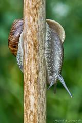 Snail-The big one-0978 (Miguel Angel Larrea) Tags: mollusca gastropoda orthogastropoda heterobranchia pulmonata naturaleza nature spain madrid snail wildlife molusco caracol