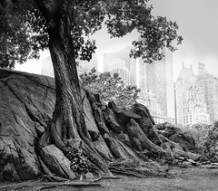 Urban dweller in Central Park, New York (marianna_a.) Tags: centralpark tree roots pavement city urban metro nyc newyork bw blackandwhite monochrome mariannaarmata