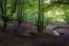Otzarreta Forest (bienve958) Tags: hayedootzarreta bosque forest paisvasco bizcaia bizkaia beech trees arboles saariysqualitypictures