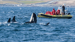 Pop up Orca (cbjphoto) Tags: canada carljackson l photography pod victoria killer orca watching whale
