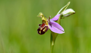 Bee Orchid (Ophrys fuciflora)