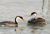 Happy Father's Day! (Amy Hudechek Photography) Tags: westerngrebe chicks father fish feeding hungry family amyhudechek utah nikond500 nikon200500f56