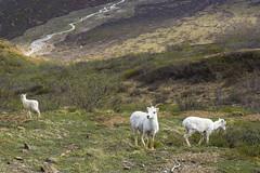 Dall sheep, Denali NP (mbuna) Tags: usa alaska denali dall sheep