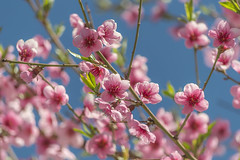 nature (Camy487) Tags: beauty nature blooming branch closeup day flower head fragility freshness growth no people outdoors pink color plant springtime tree