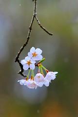 After the spring rain (keiko*has) Tags: smileonsaturday droplets rain sakura waterdroplets 桜 雨 雫 花之江の郷 栃木県 日本