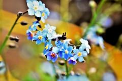 Happy Sliders Sunday! :) (martinap.1) Tags: sliderssunday happysliderssunday nikon40mmmacro nikond3300 flowers blumen heuschrecke grasshopper