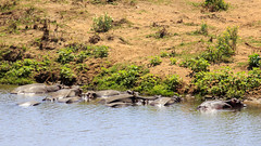 First sighting of hippos (Hans van der Boom) Tags: southafrica nationalpark krugerpark safari northernkruger animal hippo hippoppotamus herde water phalaborwa limpopoandmpumalanga sa