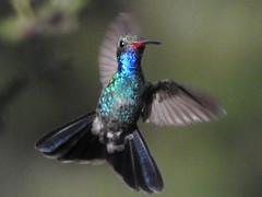 Broad-billed Hummingbird male (David Bygott) Tags: usa arizona ruby bird