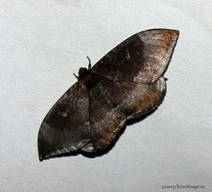 Cyclidia orciferaria (Walker,1860) Drepanidae (LennyWorthington) Tags: cyclidiaorciferariawalker 1860