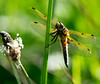 Four Spot Chaser (davep90) Tags: dragonfly three sisters ashton lnr davep90 fuji xe2 55200 bugs greenheart