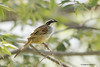 Stripe-headed Sparrow (Peucaea ruficauda)