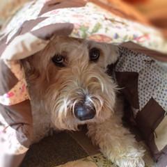 daily dog challenge nikon dslr 5300 blanket animal pet puppy maggiemae square indoor browns quilt eyes nose fur