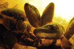 Longnose Sucker Supreme! (Fish as art) Tags: longnosesucker greatslavelake underwaterphotographypaulvecsei paulvecsei paulvecseiphotography close aliencreatures fisheries biology fish fishdiversity zoology