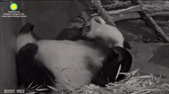 2017_05-25g (gkoo19681) Tags: beibei fuzzywuzzy chubbycubby feetsies sleepyhead adorable mirroredimage toocute bigbelly contentment comfy ccncby nationalzoo