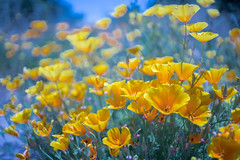 Just Like A Painting (tourtrophy) Tags: californiapoppies flowers wildflowers carlzeissjenaddrflektogon35mmf24 sonya7rii carlzeiss plants
