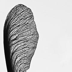 The Beauty of a Failed Life (phil_1_9_7_9) Tags: thebeautyofafailedlife nikond7000 sigma 105 sigma105 macro black white blackwhite blackandwhite bw seed veins negativespace fragile life