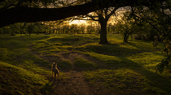 Monty on the Common (cliveg004) Tags: monty borderterrier dog kempseycommon worcestershire sunset lastlight shadows trees countryside rural nikon d5200
