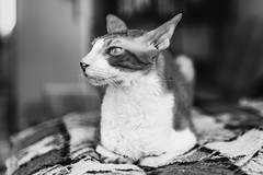 (uerbe) Tags: monochrome blackandwhite blackwhite animal pet cat feline cornishrex cornish