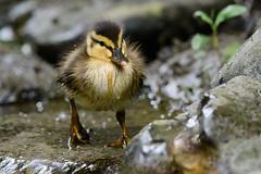 Not such an ugly duckling (Shane Jones) Tags: duckling duck mallard bird cute wildlife nature nikon d500 200400vr