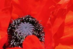 12 terkli tacını giyinmiş... (halukderinöz) Tags: gelincik poppy kırmızı red 12 oniki twelve doğa nature makro macro kop dağ mountain canoneos350d eos350d hd