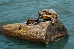 Come Here Often? (Evelyn Ford) Tags: turtles lostlagoon stanleypark vancouver britishcolumbia canada log water westernpaintedturtle canoneos5dmarkii ef70200mmf28lisiiusm animalplanet