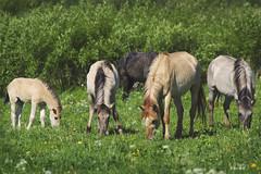 Konik Horses (Nix Alba) Tags: horses ponies equines wildhorses dun meadows parks restoration preservation stallion mare foal