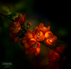 Red begonia (G.LAI) Tags: red explore begonia flower 海棠 春海棠 红色 flora color painting classicaldigital art photo images poem poet poetic romance flickr show spring nature