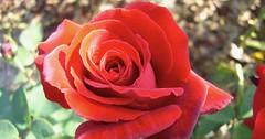 """Die Rose. Die Rosen. Zu besonderen Anlässen werden gerne rote Rosen verschenkt. Der Hochzeitstag kann so ein Anlass sein. • <a style=""""font-size:0.8em;"""" href=""""http://www.flickr.com/photos/42554185@N00/34393850633/"""" target=""""_blank"""">View on Flickr</a>"""