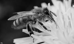 Biene in S/W (roland_lehnhardt) Tags: dmcgx80 lumixgmacro12830asph makroaufnahme closeup momentaufnahme tiere animals insekten bee makro macro sw bw black white schwarz weiss anthophila